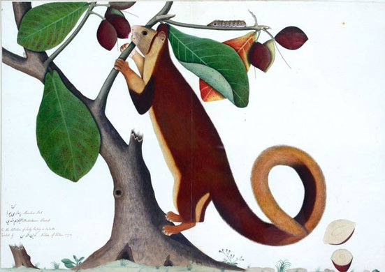 Shaikh Zayn-al-Din, Malabar Giant Squirrel, Eastern India, Calcutta, 1778.