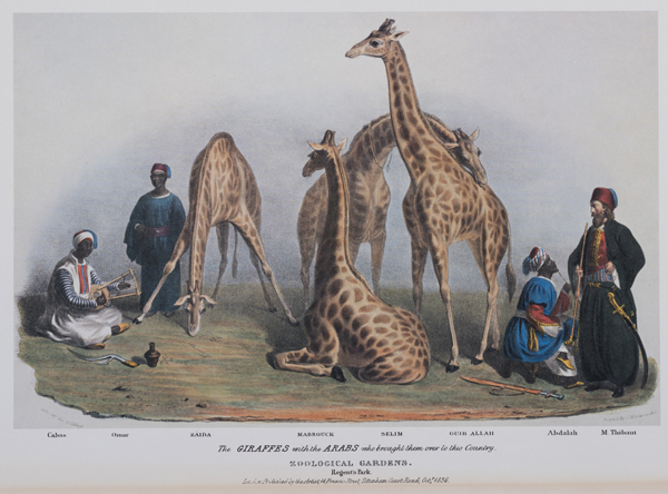 The Giraffes in the Zoological Gardens, Regents Park - Lithograph by George Scharf, published 1836, Private collection.  Featuring in Royal Pavilion, Brighton's forthcoming exhibition Exotic Creatures.